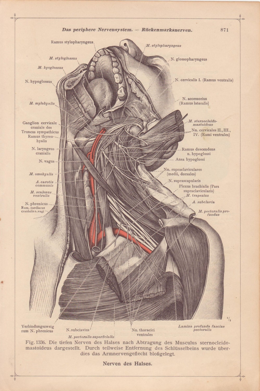 Vintage Medical Page Anatomical Diagram Human Body Head Neck