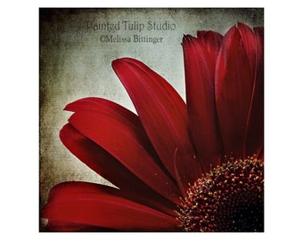 Dark Red Crimson Petals Macro Closeup Mum Daisy, Romantic Lush Dramatic Square Fine Art Photography Print
