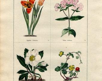 1836 Antique Botanical Print - Tiger Flower, Phlox, Helleborus, Fragaria, Benjamin Maund, Original Hand Colouring, Floral Wall Art