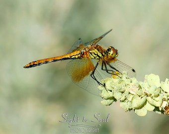 Dragonfly Photography, macro insect photo, nature photography, pale green, tan brown rustic wall decor, fine art print