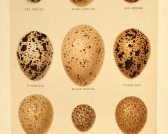 Antique print bird eggs coloured ornithology oology nests aves grouse partridge quail