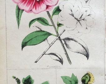 Antique print flowering plant camellia holly hock common cotton botany flowers angiosperm lithograph chromolithograph