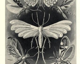 Haeckel Moths Print - Antique Lithograph from Artforms in Nature (Kunstformen der Natur) 1901 -  Science Fine Art - Tineida - Motten