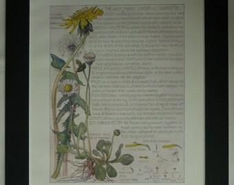 1907 Antique Botanical Print of Daisies and Dandelions by H Isabel Adams Edwardian Daisy decor, vintage Dandelion art - Garden Flower Gift