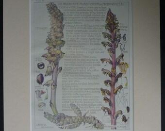 1910 Antique Botanical Print of British Wildflowers by H Isabel Adams Edwardian flower decor, vintage rural art, Botany Gift, Indigo Picture