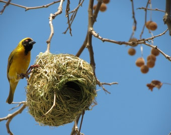 Southern Masked Weaver (1) - Digital Photo for Download - Beautiful African Bird. Yellow and Black Bird. South Africa. Bird Building Nest.