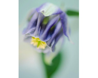 Purple Columbine: floral photo card. Blank inside with envelope - ready for any occasion.