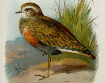 1892 Antique lithograph of a DOTTEREL BIRD. 122 years old nice print