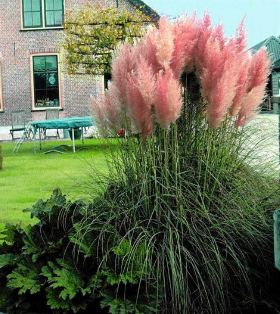 4 pink pampas grass plants cortaderia selloana rosea for Tall ornamental grasses for pots