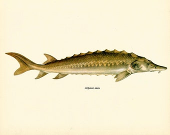 VINTAGE FISH Art PRINT Common Sturgeon Fish Vintage 1972 Print Beautiful Home Decor Antique Gallery Wall Print (fwf 2)