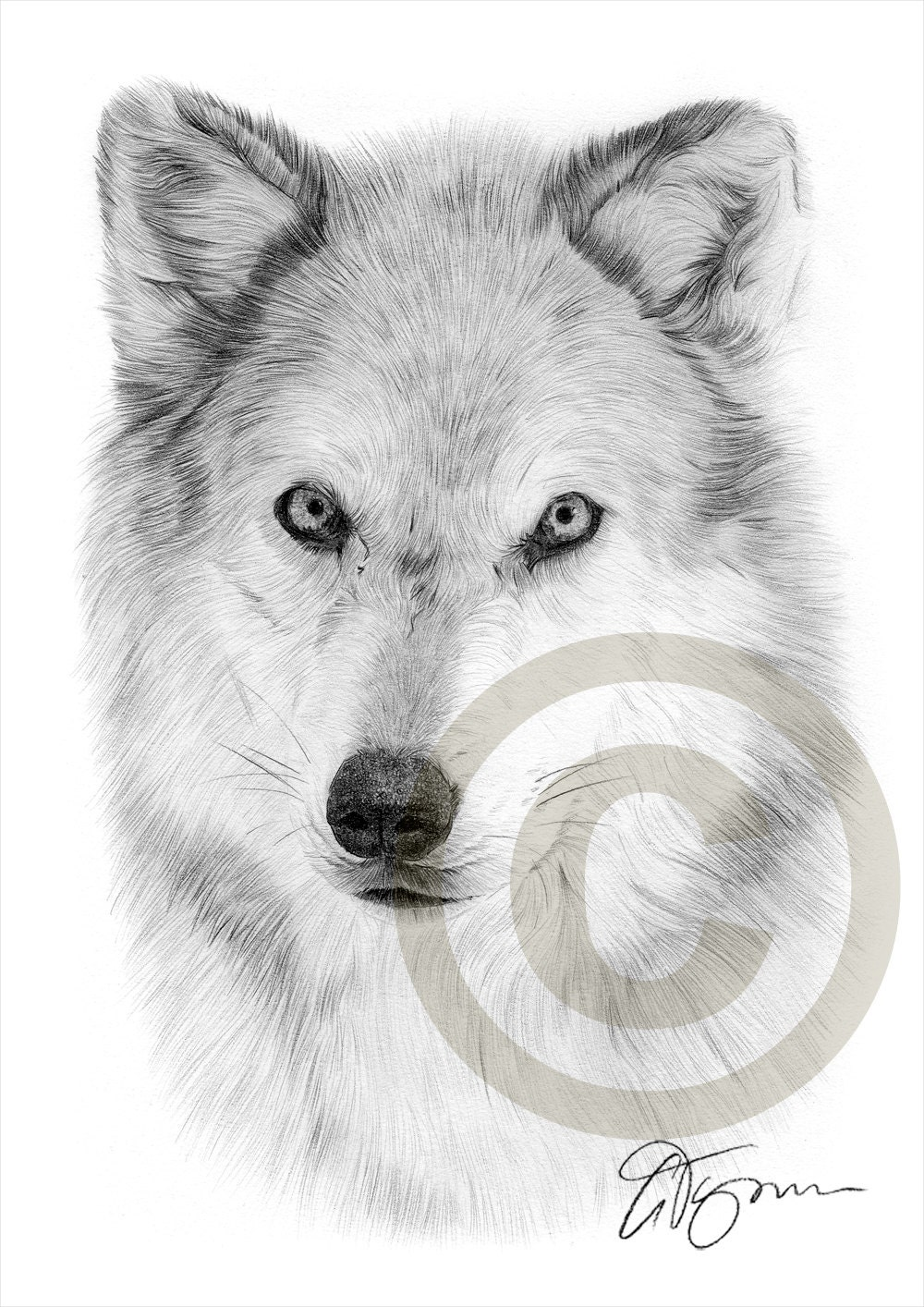 Arctic wolf pencil drawing print a4 size artwork signed by for Lupo disegno a matita