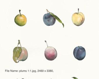 Botanical study of plums.
