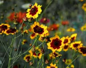 Coreopsis Seeds, Tickseed, Calliopsis, Annual re-seeding Flower, Cut Flower Arrangements