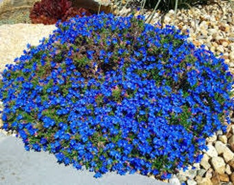 Rock Cress Cascading Seeds, Aubrieta Superbissima Cascade Blue, Ground Cover, Perennial Plant