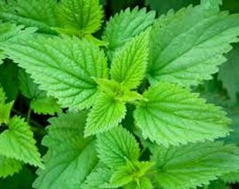 Stinging Nettle Seeds, Urtica Dioica,  Medicinal Herb, Perennial Plant, High Iron Content