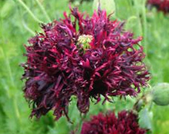 Papaver Somniferum - 200 Seeds - Black Swan Poppy