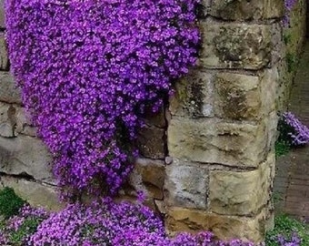 500 Purple Rockcress Seeds - Cascading Perennial Groundcover and Flower -
