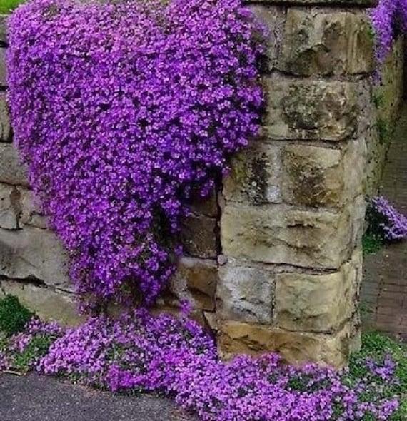 Items Similar To 500 Purple Rockcress Seeds
