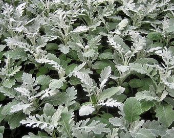 50 Seeds Dusty Miller Silver Dust Seeds