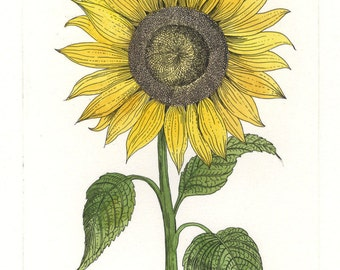 Sunflower. Etching and watercolor. Original hand pulled print. Botanical print.