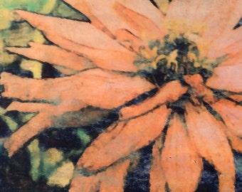 Floral Wall Art, Pincas Zinnia, Melon, Original Photo Transfer, Size 8.5 square