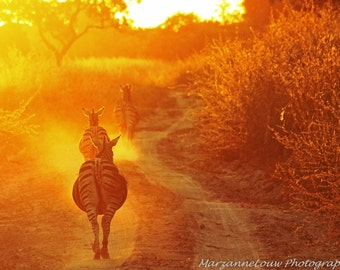 Zebras running off into a dusty African Sunset.