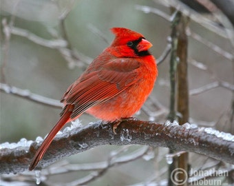 Beautiful Virginia State Bird, the Cardinal, Roughing Out a Winter Storm, Bird Picture, Animal Photo, Wildlife Photography, Fine Art Print