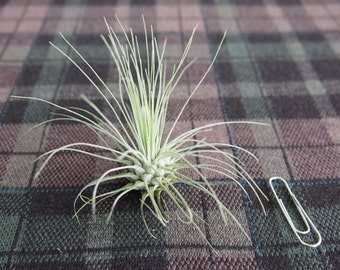 Air Plant Tillandsia fuchsii v. gracilis [Plant Only] Blooming plants added!