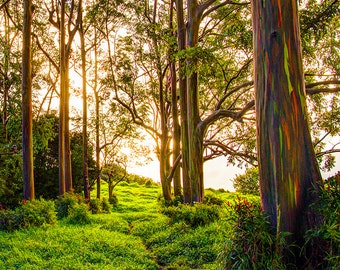 art print, wall decor, nature photography, home decor, fine art, rainbow eucalyptus, forest, rainbow eucalyptus trees, meadow, maui, hawaii