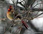 Cardinal photo, Cardinal art, Female Cardinal photo, bird art, bird photo, bird decor, Cardinal decor, Cardinal wall art, winter wall art
