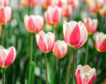 Pink and White Tulips Photo - Spring Flowers - May Floral - Nature Photography