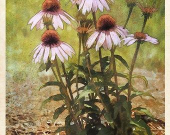 ConeFlower (botanical - plant - Flower - nature -corn flower - butterfly - wall decor - watercolor - pink - fine art print - - warm colors)