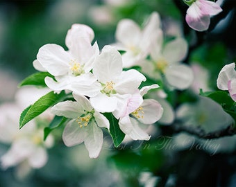 Apple Blossom Print, Spring Photography, Wall Decor, Flower Photo, Orchard Picture, Fine Art Photograph, Nature, Springtime, White, Green