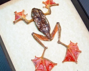 Real Female Flying Parachute Frog Rhacophorus Pardalis Shadowbox Frame A1302F
