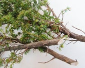 Juniper Branches, Sacred Wood, Sweat Lodge Ritual, Craft Supply, Incense Smudge Wood, Juniperus Communis, Wiccan Pagan Purification Ritual