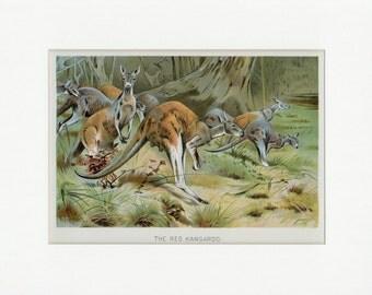 1902 Red Kangaroo Natural History Wild Animal Antique Print