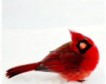 Yes Dear - Ruby red and snow white Cardinal angrybird Winter decoration Snow white and Ruby red Male Cardinal black and white photography