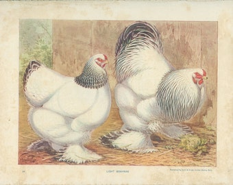 Antique Poultry, Light Brahmas, No 26, 1900's Ludlow, Birds, Chickens, Ornithology, Woodland Decor, Kitchen Decor, Library Decor