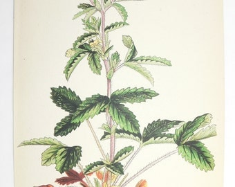 1923 Vintage Wild Flower Art Print, Cinquefoil Herb Print, Antique Botanical Print, Cottage Garden Gift, Flower Gift for Her, Gift for Mom