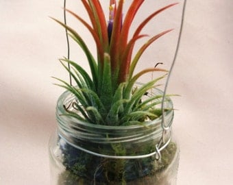 Little hanging baby food jar with green moss and blooming airplant gift