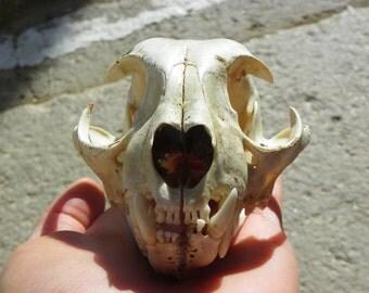 Cruelty Free - Bobcat Caliber - Taxidermy Religious Magic Spell Feline Cat Animal Mammal Real Life Death Curio Curiosity Cabinet