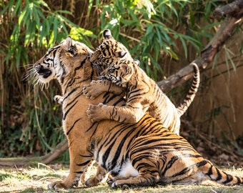 Nature Art, Twin Tiger Play, Fine Art Photography, Nature Photography, Animal Art, Nursery Decor Nursery Art