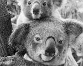KOALA BABY and MOM Photo,...