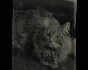 Excellent 1860s Fluffy CAT Tintype