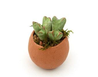 Succulent - Conophytum Bilobum