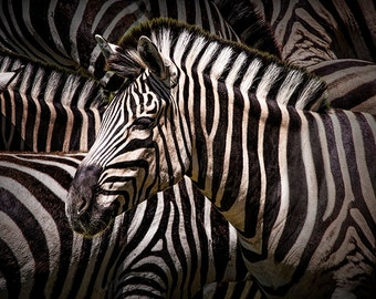 Zebra lost among the Herd an African Wildlife Animal Photograph No.01582