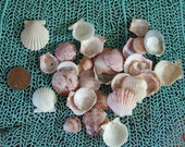 Beach Collected Baby Scallops 1 inch & under for Coastal Decorating/ Arts/ Crafts/ Loose Seashell Supplies