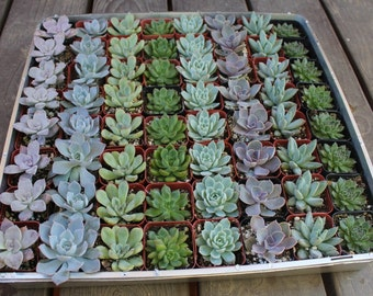"""75 ALL ROSETTE  Succulent Wedding FAVORS Succulents in 2"""" plastic containers"""