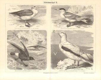 1890 Seabirds, Marine Birds, Northern Fulmar, Caspian Tern, European Storm Petrel, Wandering Albatross Antique Engraving Print
