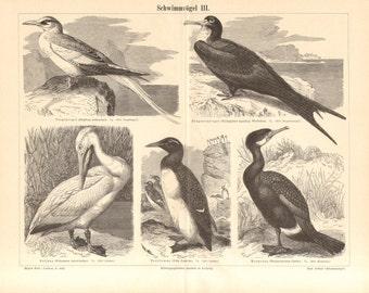 1890 Seabirds, Waterbirds, Red-billed Tropicbird, Great Frigatebird, Great White Pelican, Thick-billed Murre, Great Cormorant Antique Print